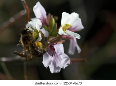 Bee collecting polem on white flower