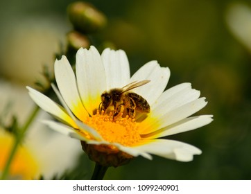 Bee collecting pollen inside  wild daisy in foreground