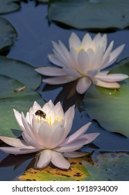 bee collecting pollen from lily