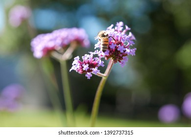 Bee collecting pollen on purple flower