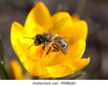 Bee collecting pollen on yellow Crocus