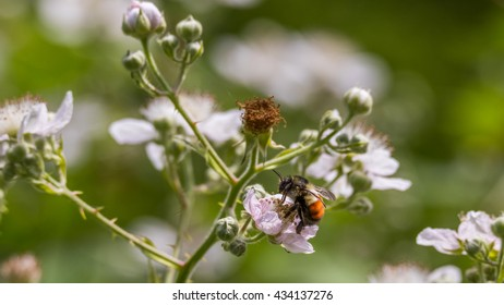 A bee collecting pollen in white flowers on a green grass background.