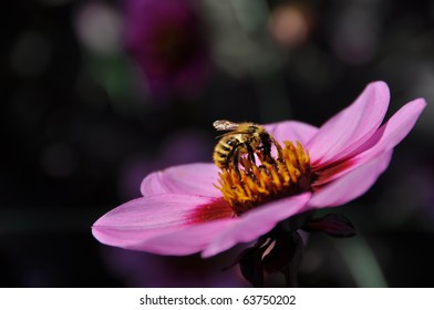 Bee collecting pollen from a wonderful pink flower.
