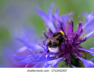 Bee collects flower nectar of cornflower on a spring day