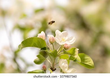 Bee collects honey in apple blossom - honeybee