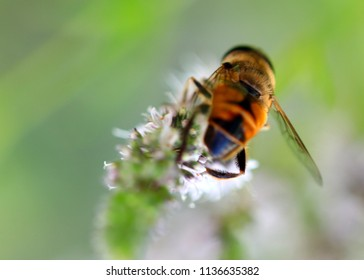 the bee collects the nectar from the flower