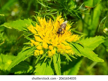 The bee collects nectar from the flowers of the golden root. Immunity enhancer Golden root. Crassulaceae family.