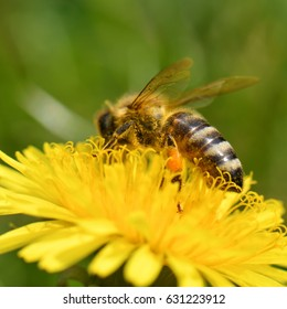 bee collects nectar on a dandelion