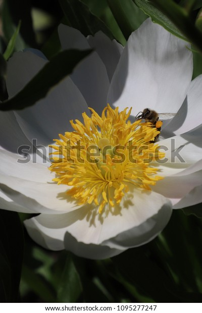 A bee collects nectar on a peony