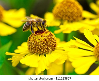 bee collects nectar on yellow flower