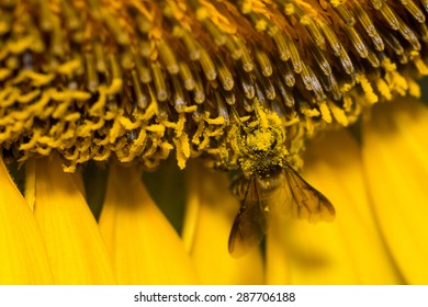 A bee collects nectar from sunflower and contain s lot of pollens on it's head.