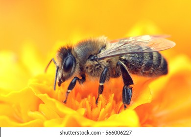 A bee collects nectar from a yellow flower. Super macro photo. Summer love insects feed on nectar. pictures all the fine details of the insect. flying creatures