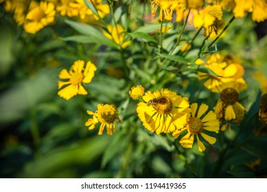 bee collects nectar from yellow flowers