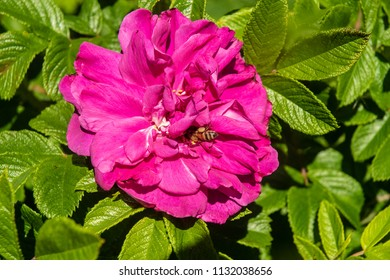 A bee collects nectur for a bright pink rose.