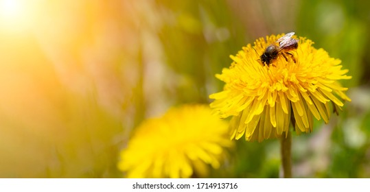 A bee collects pollen from a dandelion. The stigma and trunk are covered with pollen. Closeup shot, free space for text.