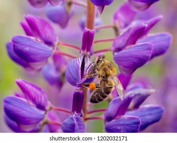 Bee collects pollen from lupine