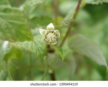 A bee collects pollen and nectar from Rubus idaeus, raspberry, red raspberry or occasionally as European raspberry flower. Honey and medicinal plants in Europe. drug plants