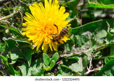 A bee collects pollen on a dandelion flower