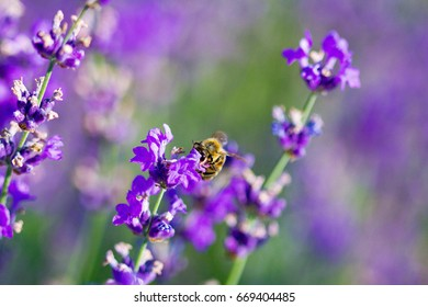 Bee collects pollen on lavender