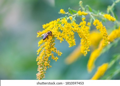 A bee collects pollen from a yellow flower goldenrod. Solidago.