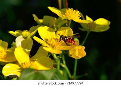 Bee of colors on splendid yellow wildflowers, chrysotoxum triarcuatum