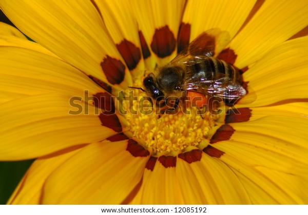 Bee in Coreopsis Blossom