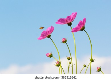 Bee and cosmos flowers with blue sky.