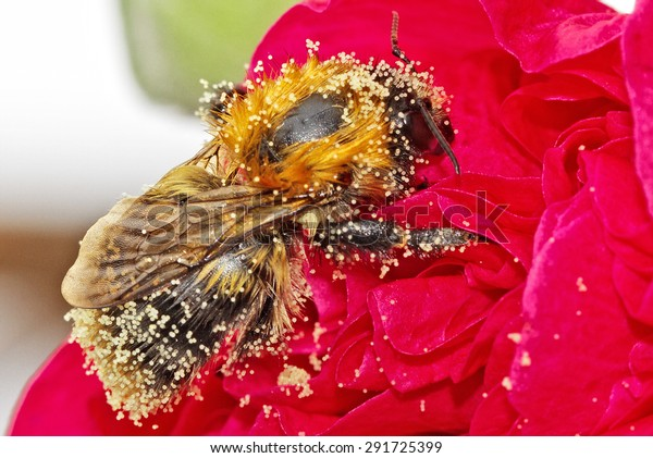 Bee covered pollen on red flower