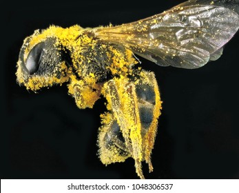 Bee covering with pollen