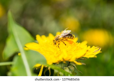 Bee and dandelion - pollination