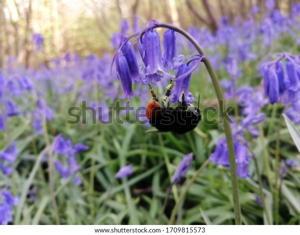 bee dangling on a bluebell