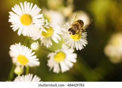 A bee drinking nectar on the flower