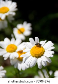 A bee drinks nectar from a Shasta daisy with other daisies in the soft-focus background. Nice text-friendly space.