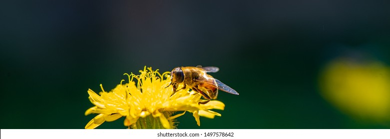bee drone collects nectar on a marigold flower. Summer season, august. Web banner, for your design.
