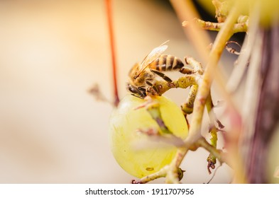 Bee eat ripe green grapes. Insects destroy berries.
