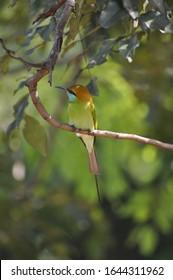 Bee eater bird from Sri lanka on branch