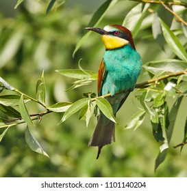 Bee eater birds (Merops apiaster) in various postures