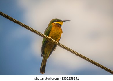 Bee eater on a power line