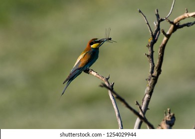 bee eater sits on a branch eating a dragonfly