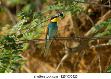 bee eater sitting on a branch
