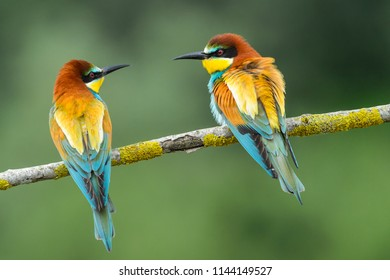 Bee eaters creating couples