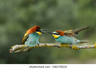 Bee eaters males often fight for the best site to build the nest. These are seriously discussing.