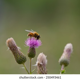 Bee eating nectar from a blooming thistle. This image has room for text