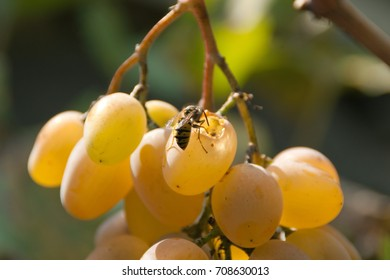 A bee eating ripe natural sweet grapes in the garden outdoor. Autumn fertility. Bio food, healthy nutrition concept.