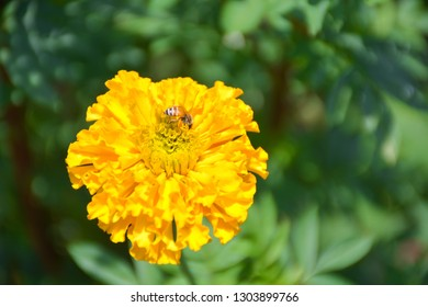 The bee eats the marigold pollen that is blooming.