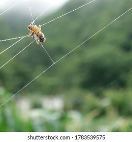 A bee ensnared in a spider's web, which is decorated by small dee drops in the summer morning.