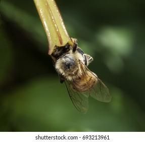 Bee extracting pollen from the yellow-orange flower of firebush tree against a blurred green background.