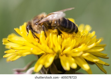 Bee feeding on dandelion flower.