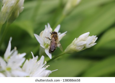 bee feeding from white flowers Netherlands
