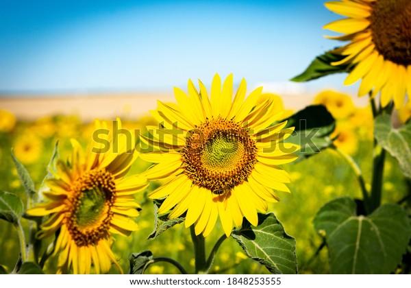 A bee feeds on a sunflower